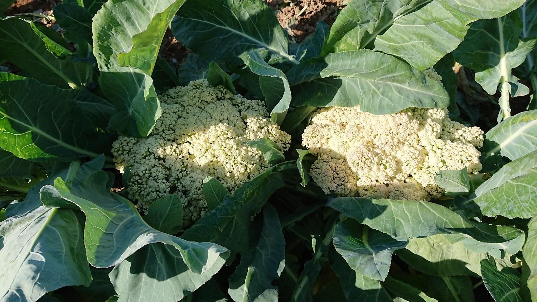 カリフラワールースタイプ栽培品種試験